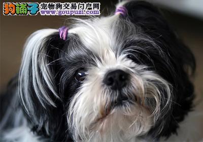 呼和浩特宠物狗狗纯种幼犬西施犬出售疫苗齐全健康保障