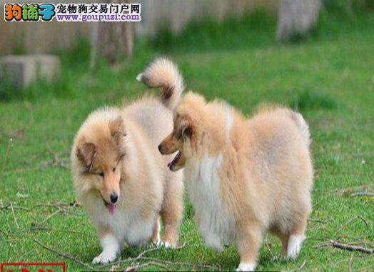 出售苏格兰牧羊犬包品质双色三色都有品质非常好