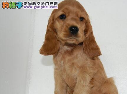 可卡CKU认证犬舍自繁自销期待来电咨询