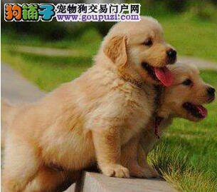 直销上海金毛犬 三个月大已做疫苗可办理血统证书