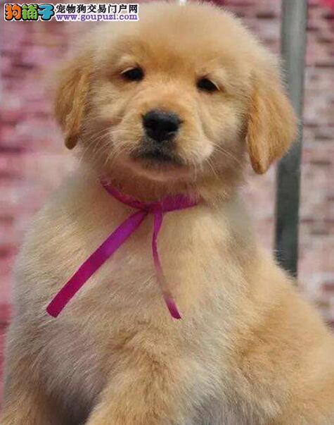 出售精品金毛幼犬 头脸好 保健康