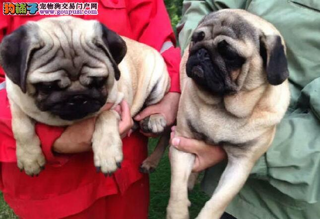 精品赛级巴哥犬,金牌店铺放心选,提供养护指导