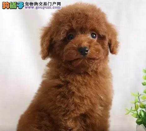 低价出售韩国血统泰迪犬 乌鲁木齐周边地区可送狗上门
