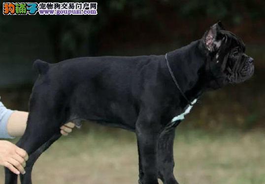 卡斯罗标准的大型猛犬具有非凡的勇气同时韧性十足。