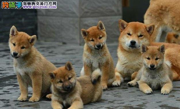 专业正规犬舍热卖优秀铜仁柴犬赠送全套宠物用品