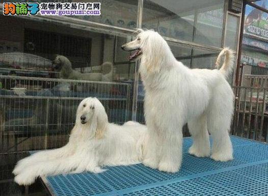 多种颜色的阿富汗猎犬找爸爸妈妈保证品质完美售后