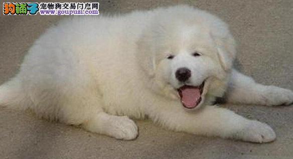 成都哪里可以买到纯种的大白熊犬 大白熊犬价格