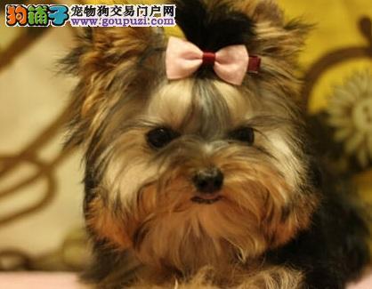 美美哒 乖乖的 约克夏 天津出售 即日起上门八折优惠