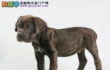 实体店热卖卡斯罗犬颜色齐全多种血统供选购