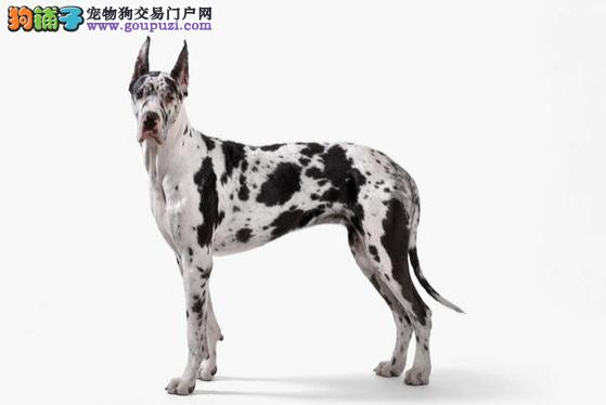 自家繁殖大丹犬出售公母都有喜欢加微信可签署协议