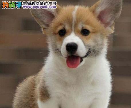 泉州萌犬小短腿柯基犬保健康帅气漂亮