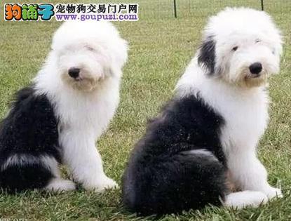 广州繁殖古牧售保纯种健康签订协议可看古代牧羊犬父母