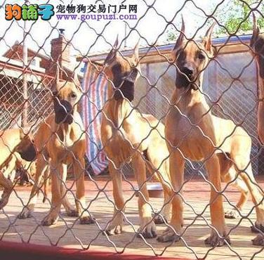 大丹犬幼崽出售中 纯度100%保证健康 可签保障协议