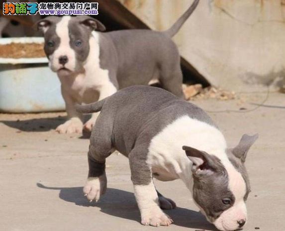 四平出售纯种猛犬比特幼犬血统好,带血统证书 质保三年