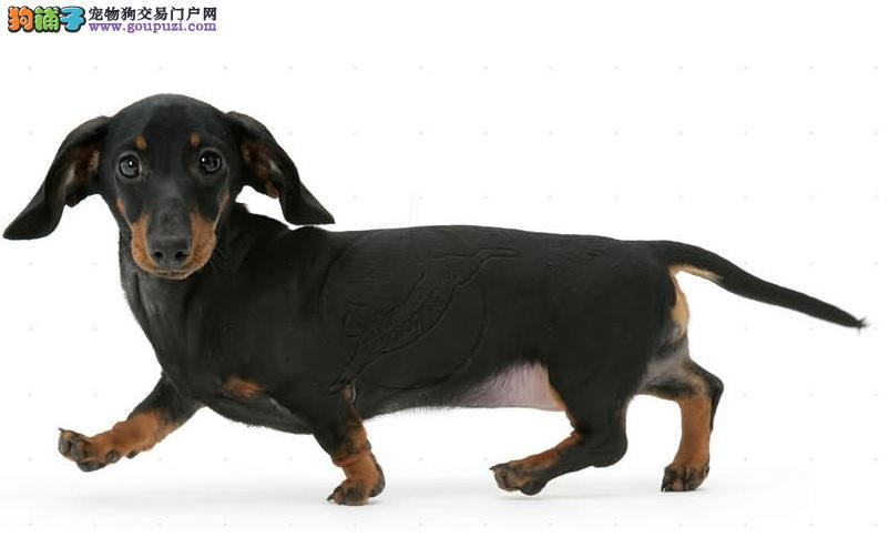腊肠犬价格 腊肠犬多少钱 腊肠犬图片 腊肠犬转让