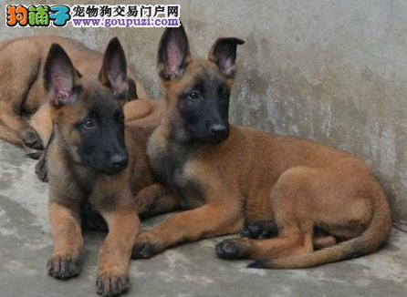 高品质马犬幼犬出售 疫苗做完 质量三包 多只可选 纯种