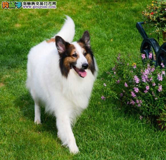 爱苏格兰牧羊犬的错误之狗狗肥胖