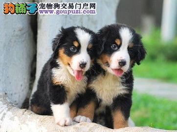 犬场热销威玛猎犬伯恩山幼犬,公分母都有