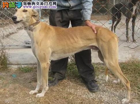 杭州市出售纯种格力犬灵缇犬 品质好信誉高质量保障