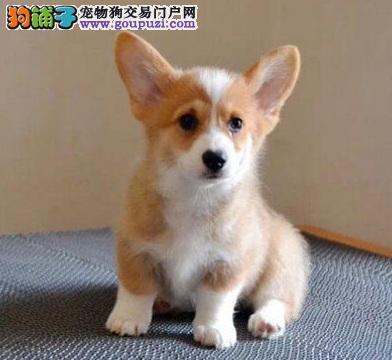 沈阳出售纯种柯基幼犬 柯基多少钱一只 纯种三色柯基犬