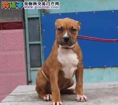 100%纯种健康的西安比特犬出售我们承诺终身免费售后1