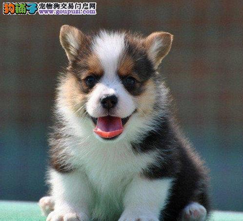 北京出售英国女王最爱威尔士柯基犬 围脖加通顶 可送货
