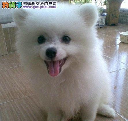 南昌出售日本银狐犬签健康协议当场体检六折售银狐幼犬