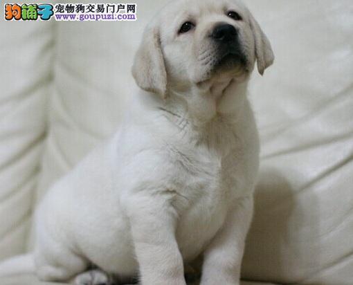 长沙本地自家繁殖的拉布拉多幼犬 温顺可爱