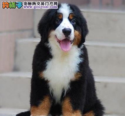 徐州瑞士伯恩山犬,疫苗证书齐全,幼犬待售