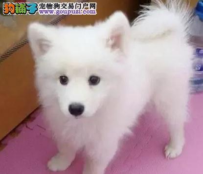 高品质银狐幼犬 低价出售 送宠物大礼包