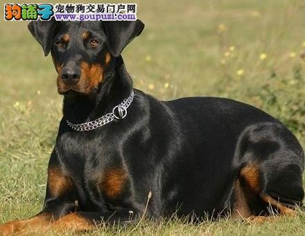 热销杜宾犬幼犬、注射芯片颁发证书、提供养狗指导