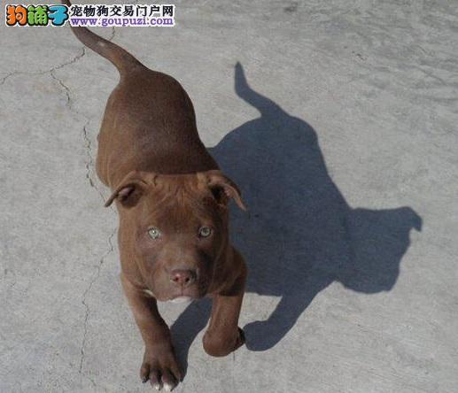 比特犬福州CKU认证犬舍自繁自销优质售后服务