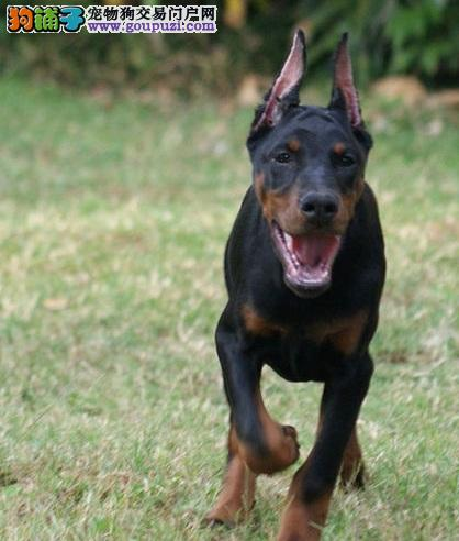 精品杜宾幼犬出售 可上门挑选 签质保协议