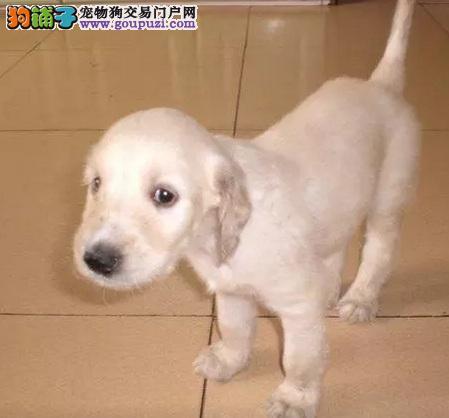 高品质的桂林阿富汗猎犬找爸爸妈妈包养活送用品