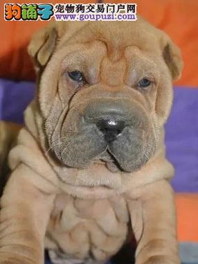 合肥哪里有卖沙皮狗,合肥纯种沙皮狗价格多少钱包健康
