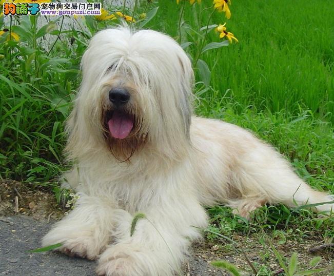 家养纯种 英国古代牧羊犬廉价出售,保证纯种健康