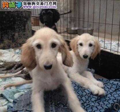 专业正规犬舍热卖优秀合肥阿富汗猎犬签订协议包细小犬瘟热