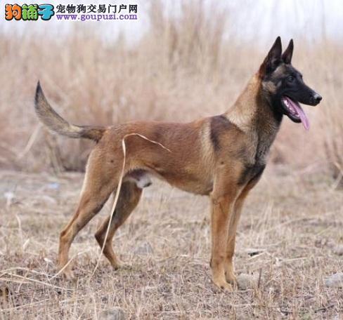 西安知名犬舍出售多只赛级马犬可刷卡可视频