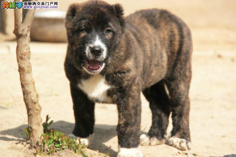 出售多种颜色宁波纯种中亚牧羊犬幼犬签署质保合同2