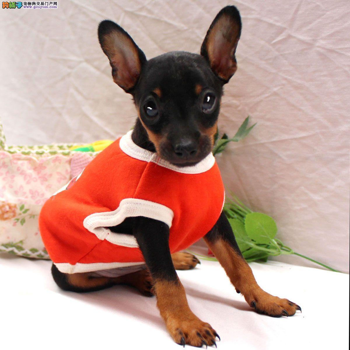 颜色全品相佳的小鹿犬纯种宝宝热卖中真实照片视频挑选