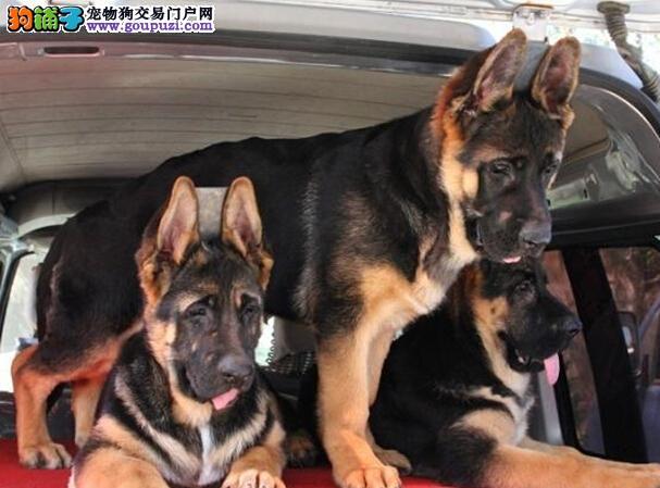 高品质昆明犬带血统出售中 终身质保 质量三包 可签协议