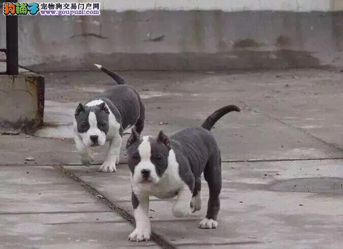 热卖美国恶霸犬多只挑选视频看狗质保三年支持送货上门