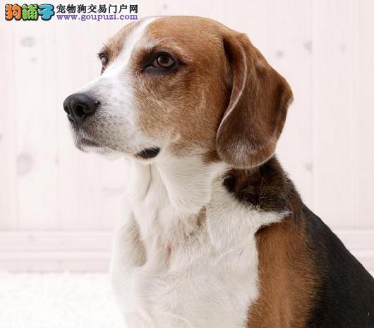 天津出售比格犬公母都有品质一流赠送全套宠物用品