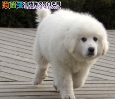 CKU认证纯种大白熊出售有公可配种保健康