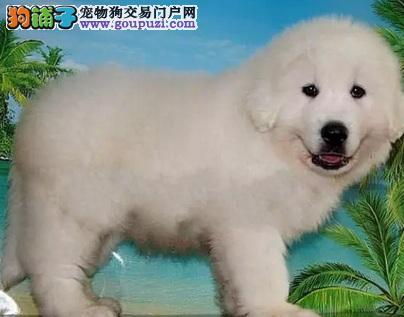 纯种大白熊幼犬出售 终身品质保障品相极佳 确保健康