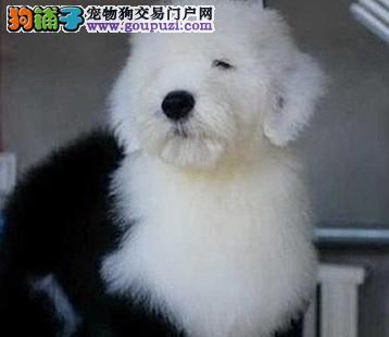 纯种大白头古牧幼犬可视频选狗支持支付宝
