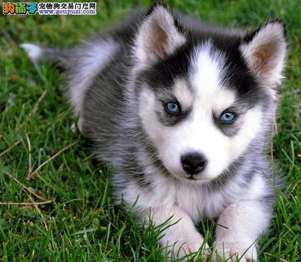 广州繁育顶级二货哈士奇蓝眼三把火雪橇犬健康质保