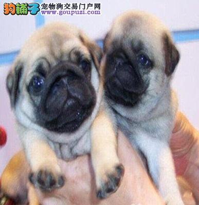 憨厚巴哥高端品质 纯种八哥犬吐鲁番市出售