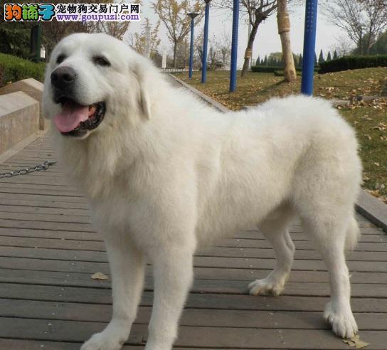 犬舍低价热销 大白熊血统纯正办理血统证书4