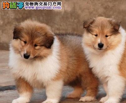 出售纯种高品质苏格兰牧羊犬幼犬 品质保证